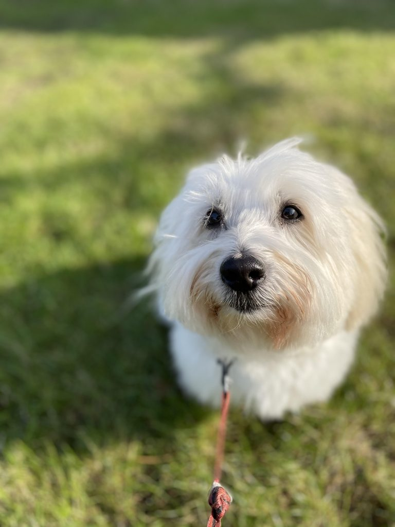 Charlie the Coton du Tulear is Excited